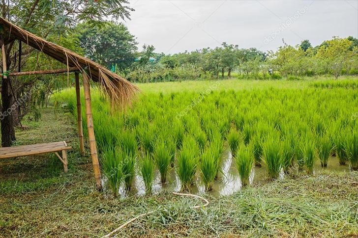 tayland prinç tarlaları